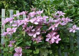 CLEMATIS 'MARGARET HUNT'